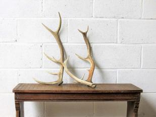 Vintage Antlers for Hire Scotland